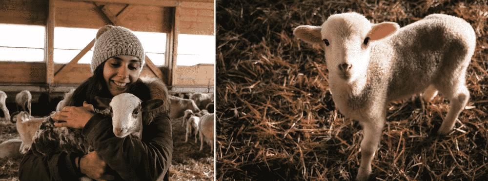 Activités Megève élevage de rennes