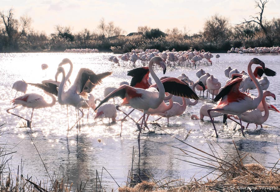 Blog Le Gourmand Voyageur - Camargue - parade nuptiale flamants roses